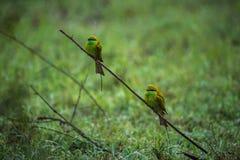 Deux oiseaux verts de mangeur d'abeille Images stock