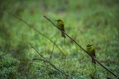 Deux oiseaux verts de mangeur d'abeille Image libre de droits