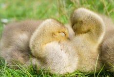 deux oisons d'oie de Canada Images stock