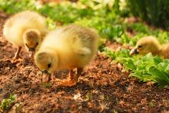 Deux oisons mignons Photo libre de droits