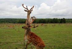 Deux ont élevé le combat de cerfs communs Image stock