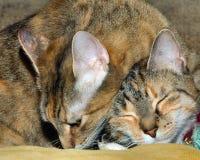 Deux ont dirigé le chaton Images stock