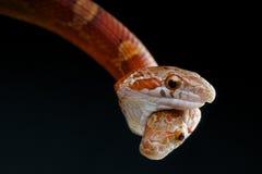 Deux ont dirigé le serpent Photographie stock libre de droits