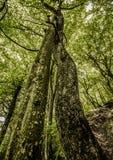 Deux ont embrassé des arbres dans la forêt enroulée autour de l'un l'autre Images libres de droits