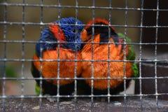 Deux ont mis en cage les oiseaux colorés caressant Photos stock