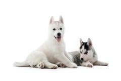 Deux ont porté des chiots du chien de chien de traîneau sibérien posant au studio Photo libre de droits