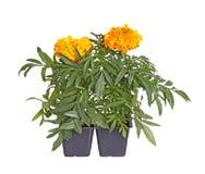 Deux orange-ont fleuri des jeunes plantes de souci prêtes pour la transplantation Photo libre de droits