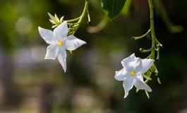Deux orchidées blanches accrochent vers le bas Photographie stock