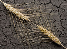 Deux oreilles de blé et saleté sans eau Image stock