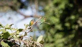 Deux oreobates Cannelle-chested sauvages de Merops d'Abeille-mangeurs en Tanzanie Images libres de droits