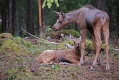 Deux orignaux de chéri dans la forêt Photographie stock libre de droits