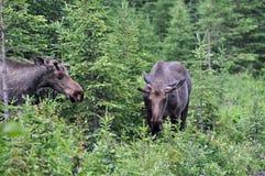 Deux orignaux de taureau dans la forêt Photographie stock