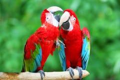 Deux ou trois beaux macaws photos libres de droits