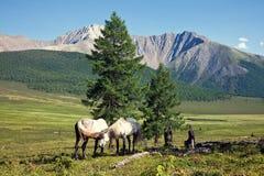 Deux ou trois chevaux dans Altay, Russie Photos stock