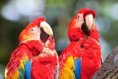 Deux ou trois perroquet images stock