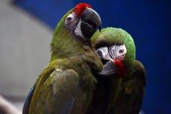 Deux ou trois perroquets color?s image libre de droits