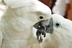 Deux ou trois perroquets de Cockatoo blancs Image stock