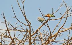 Deux ou trois perroquets orange-gonflés africains Images libres de droits