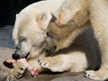 Deux ours blancs Photographie stock