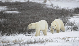 Deux ours blancs. Photographie stock libre de droits
