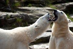 Deux ours blancs Images libres de droits