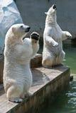 Deux ours blancs dans le zoo Photos stock