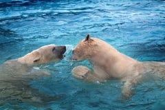 Deux ours blancs jouant dans l'eau Photos stock