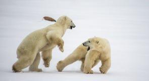 Deux ours blancs jouant les uns avec les autres dans la toundra canada Image stock
