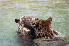 Deux ours bruns à Berne portent le stationnement, Suisse. Photo stock