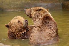 Deux ours bruns dans l'eau Photo libre de droits