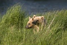 Deux ours de Brown se reposant dans l'herbe Photographie stock libre de droits