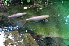 Deux pâles - natation rose de poisson rouge dans un étang de jardin photo stock