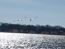 Deux pélicans blancs américains en vol Photo libre de droits