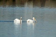 Deux pélicans blancs américains nageant dans les marécages Images stock