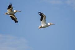 Deux pélicans blancs américains volant dans un ciel bleu Image stock