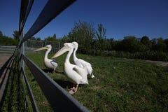 Deux pélicans blancs dans le zoo sur l'herbe verte Photos stock