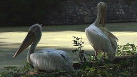 Deux pélicans blancs dans un zoo La détente et les plumes propres clips vidéos