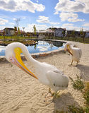 Deux pélicans blancs drôles s'approchent de la piscine Photo libre de droits
