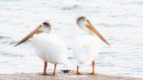 Deux pélicans blancs et x28 américains ; Erythrorhynchos& x29 de Pelecanus ; Support sur un dock sur un petit lac Photos stock