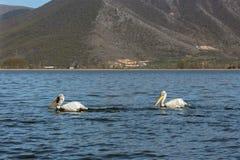 Deux pélicans dans le lac dans la perspective de la montagne Photos stock