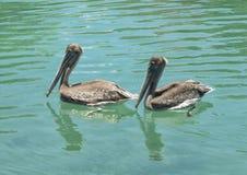 Deux pélicans de Brown nageant Photographie stock libre de droits