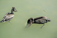 Deux pélicans de Brown pêchant dans les eaux d'océan Images libres de droits