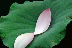 Deux pétales roses de lotus Photographie stock libre de droits
