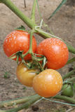 Deux paires de tomates Image stock