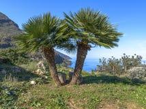Deux palmiers se tenant ensemble Images libres de droits