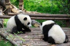 Deux pandas de bébé jouent Photo stock