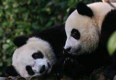 Deux pandas géants se ferment ensemble Photos stock
