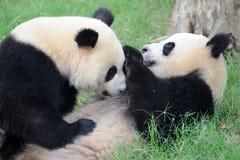 Deux pandas jouent Photos stock