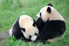 Deux pandas mignons Photographie stock libre de droits