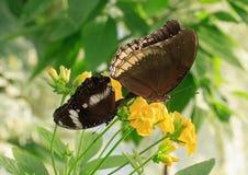 Deux papillons alimentant sur une fleur jaune lumineuse Photos stock